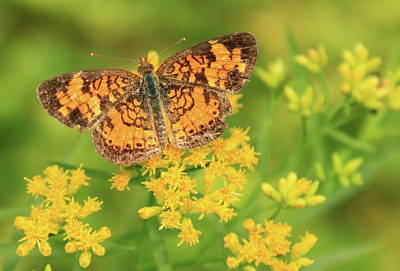 Photograph - Pearl Crescent On Goldenrod by John Burk