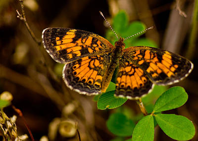 Photograph - Pearl Cresent Butterfly by Barry Jones