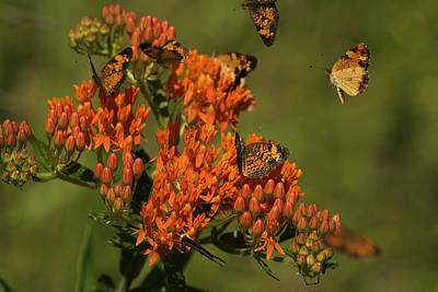 Art Print featuring the photograph Pearly Crescentpot Butterflies Landing On Butterfly Milkweed by Daniel Reed