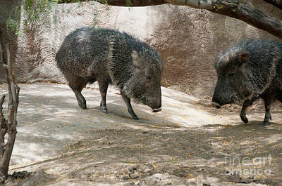 Digital Art - Peccary by Carol Ailles