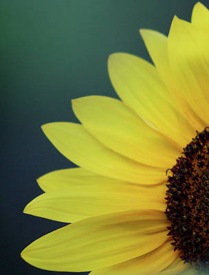 Photograph - Pedals Of Sunshine by Cathie Douglas