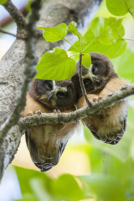 Whet Owl Photograph - Peek-a-boo Fledglings by Tim Grams