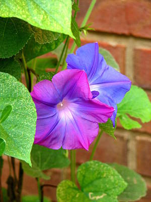 Photograph - Peek-a-boo Morning Glories by Carla Parris