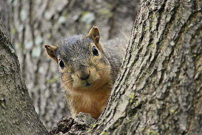 Peek A Boo Squirrel Art Print by Rosanne Jordan