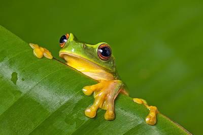 Animal Photograph - Peek-a-frog by Johan Larson