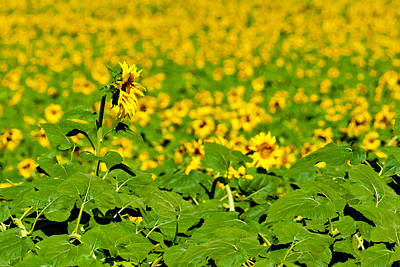 Photograph - Peeking Above  Sea Of Yellow by Colleen Coccia