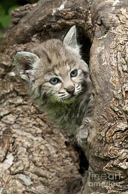 Bobcats Photograph - Peeking Out - Bobcat Kitten by Sandra Bronstein