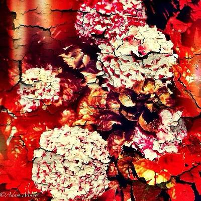Iphone 4 Photograph - Peeling Hydrangeas - Ravine Gardens by Photography By Boopero