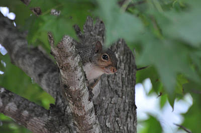 Chipmunk Photograph - Peep Eye - C0331a by Paul Lyndon Phillips