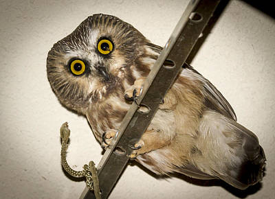 Whet Owl Photograph - Peering Saw-whet by Jean Noren