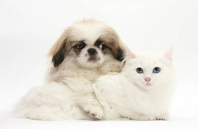 Parti  - Pekinese Puppy And Maine Coon-cross by Mark Taylor