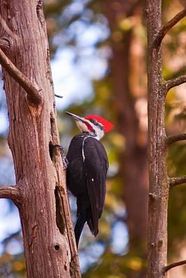 Peliated Woodpecker Art Print