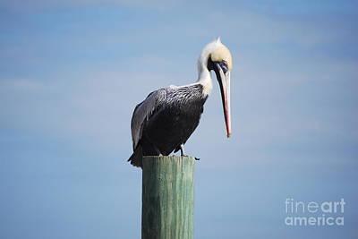 Pelican 1 Art Print