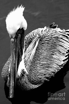 Pelican . 7d8287 Print by Wingsdomain Art and Photography