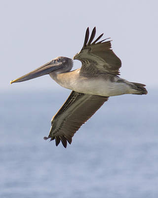 Photograph - Pelican by Alan Raasch