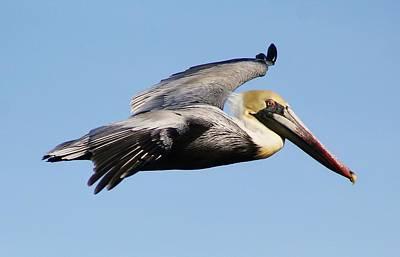Pelican Flying High Art Print by Paulette Thomas