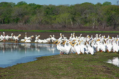 Photograph - Pelican Get-together by Robyn Stacey