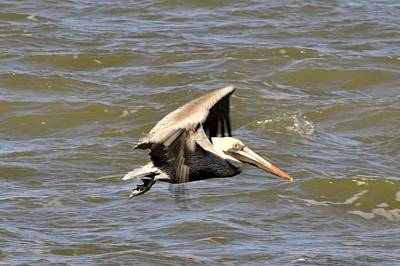 Photograph - Pelican In Flight by Helen Haw