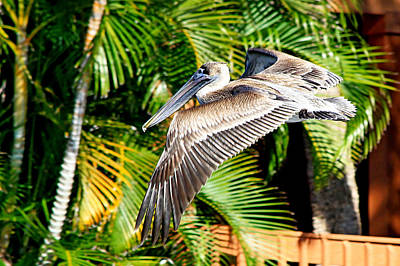 Photograph - Pelican In Flight by Ira Runyan