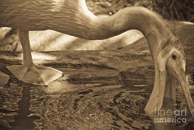 Photograph - Pelican In Sephia by Kim Henderson