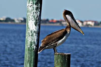 Photograph - Pelican Iv by Joe Faherty
