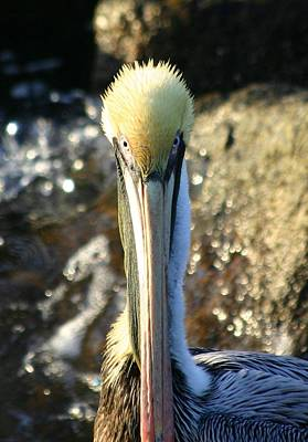 Photograph - Pelican by Jeanne Andrews