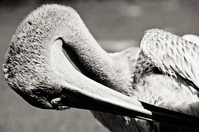 Photograph - Pelican by Justin Albrecht
