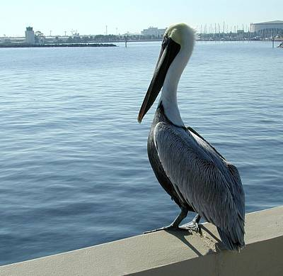 Photograph - Pelican by Kirk Stanley