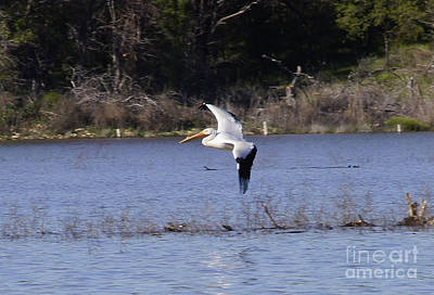 Photograph - Pelican Landing by Diana Cox
