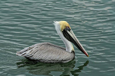Pelican Out For A Swim Art Print