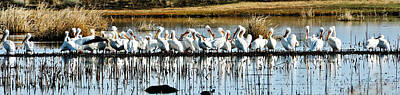 Photograph - Pelican Panorama by Greg Norrell