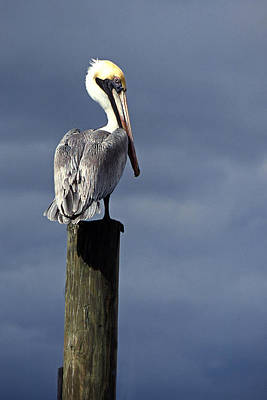 Painting - Pelican Perch Ource Photo by Suni Roveto