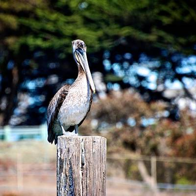 Photograph - Pelican Perched by Eric Tressler