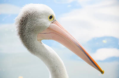 Photograph - Pelican Portrait by Chua  ChinLeng