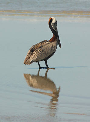 Pelican Reflections Art Print by Cindy Haggerty
