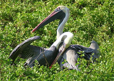 Print featuring the photograph Pelican Romance by Laurel Talabere