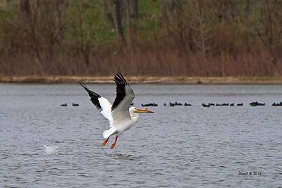 Pelican Take-off Art Print by Stephen  Johnson