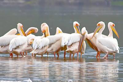 Pelicans At Lake Nakuru Art Print
