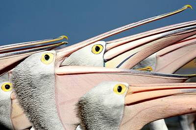 Pelicans (eyes Have It) Art Print by An Gobán Saor