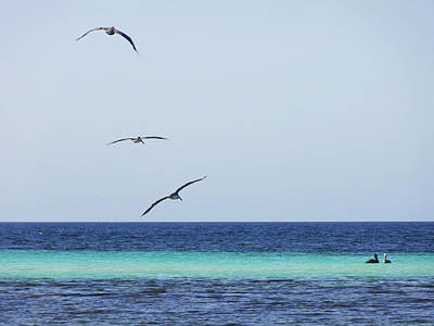 Pelicans In Flight Over Turquoise Blue Water.  Art Print