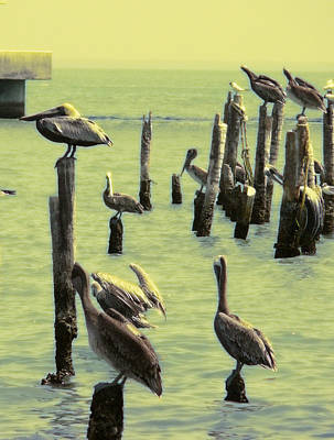 Pelicans Near The Coast Original