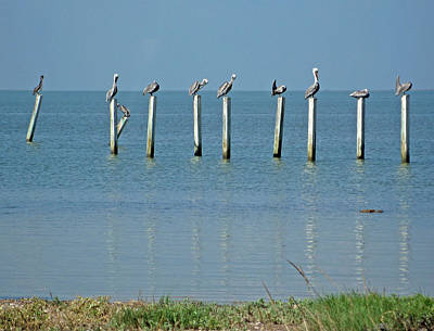 Photograph - Pelicans by Rod Jones