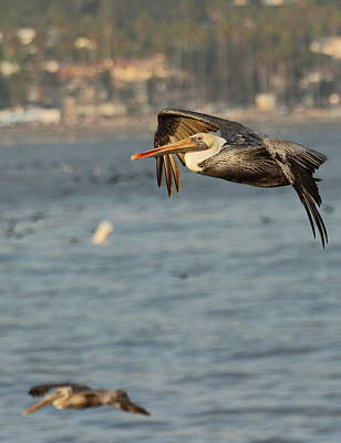 Photograph - Pelicans Soar Off California Coast by Coby Cooper