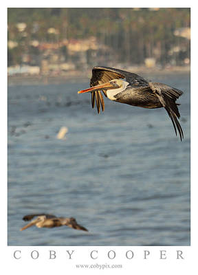 Photograph - Pelicans Soaring by Coby Cooper