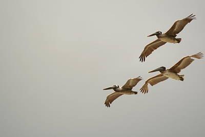 Photograph - Pelicans by Van Corey