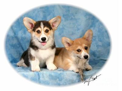 Pup Digital Art - Pembroke Corgi Pups Naughtey by Maxine Bochnia