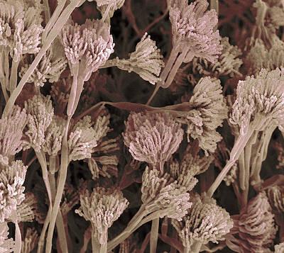 Penicillium Sp Photograph - Penicillium Fruiting Bodies, Sem by Steve Gschmeissner