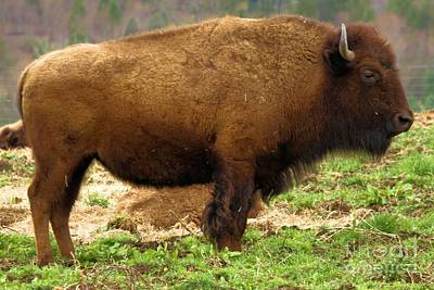 Photograph - Pennsylvania Bison by Adam Jewell