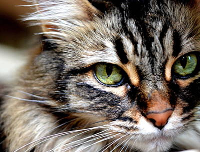 Coon Cat Photograph - Pensive Sasha by Fraida Gutovich