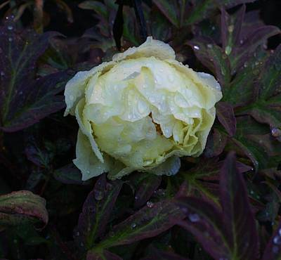 Art Print featuring the photograph Peony After The Rain by Jerry Cahill